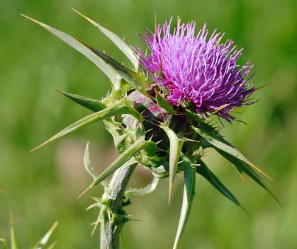 Milk Thistle - image source: en.wikipedia.org
